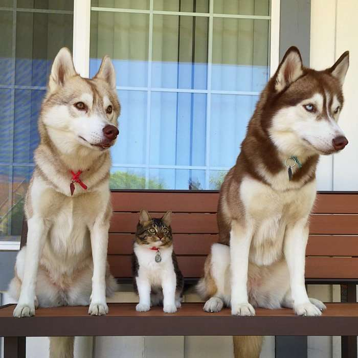 Три хаски и кошка Роузи - лучшие друзья