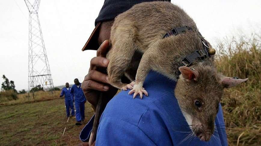 Африканские крысы-саперы