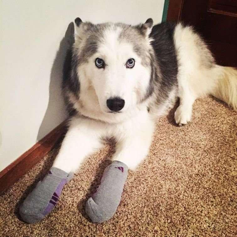 Собаки в носочках покорили интернет
