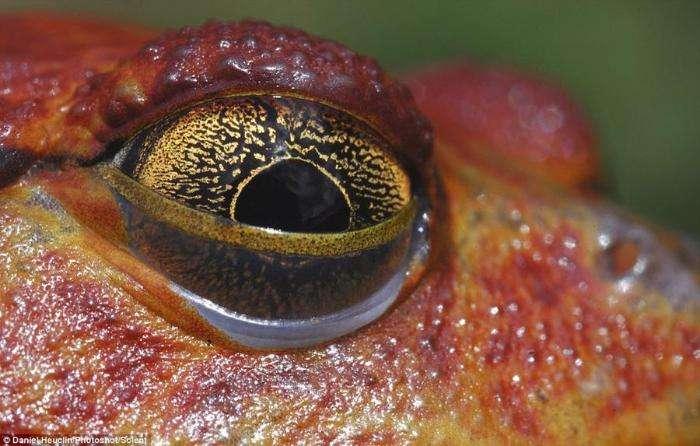 Глаза амфибий