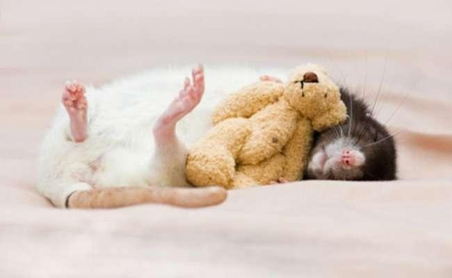 Милые крысы Джессики Флоренс