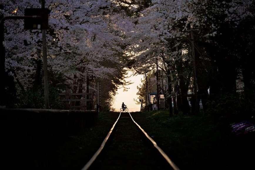 Мимолетная красота: в Японии зацвела сакура